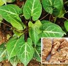 Лечебное растение Фо-Ти, Fo-Ti